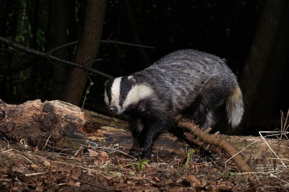 A badger in the woods in England