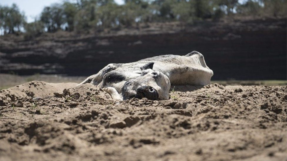 A dead cow lies on the banks of the dried up Black Umfolozi river, Ulundi, Northern Kwazulu Natal, South Africa 09 November 2015