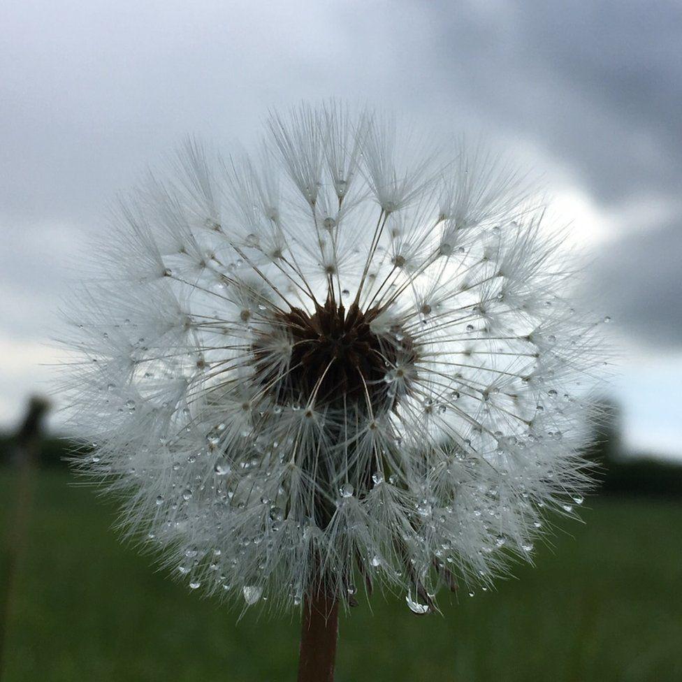 Dandelion after rainfall