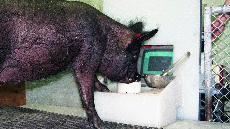 Ebony pig