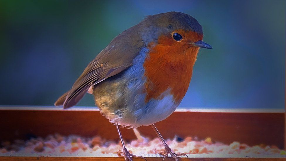 A close-up of a robin