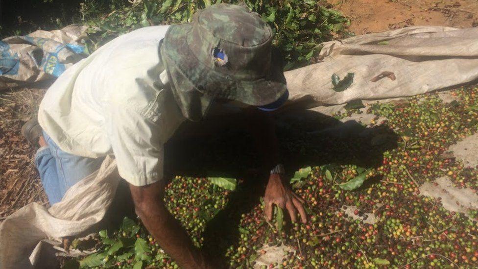 A Brazilian farmer collecting coffee beans