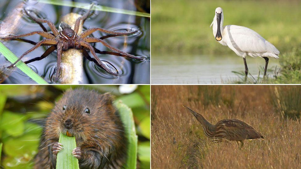 Fen raft spider, spoonbill, water vole, bittern
