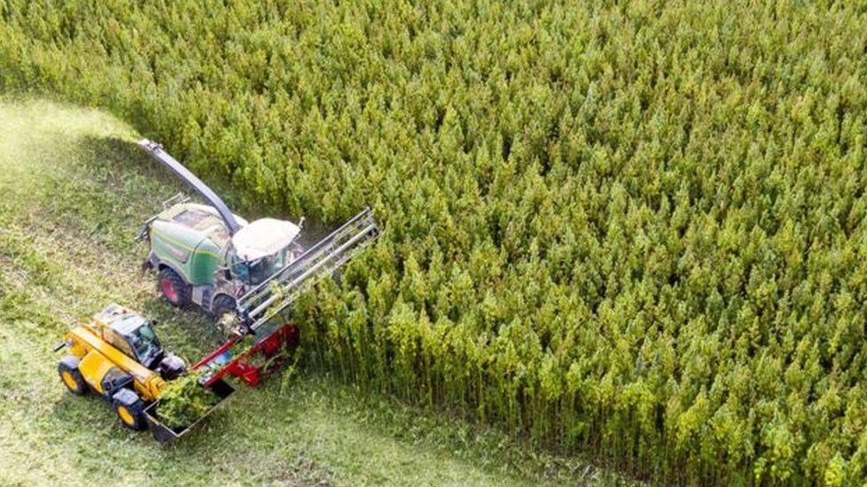 Máquina faz colheita em plantação de canabis