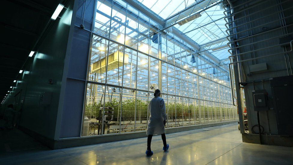 An employee walks past a greenhouse growing cannabis plants in Quebec, Canada