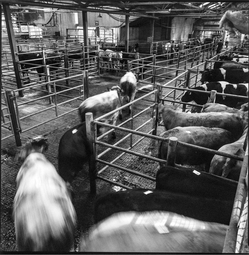 Cattle in Bandon Mart