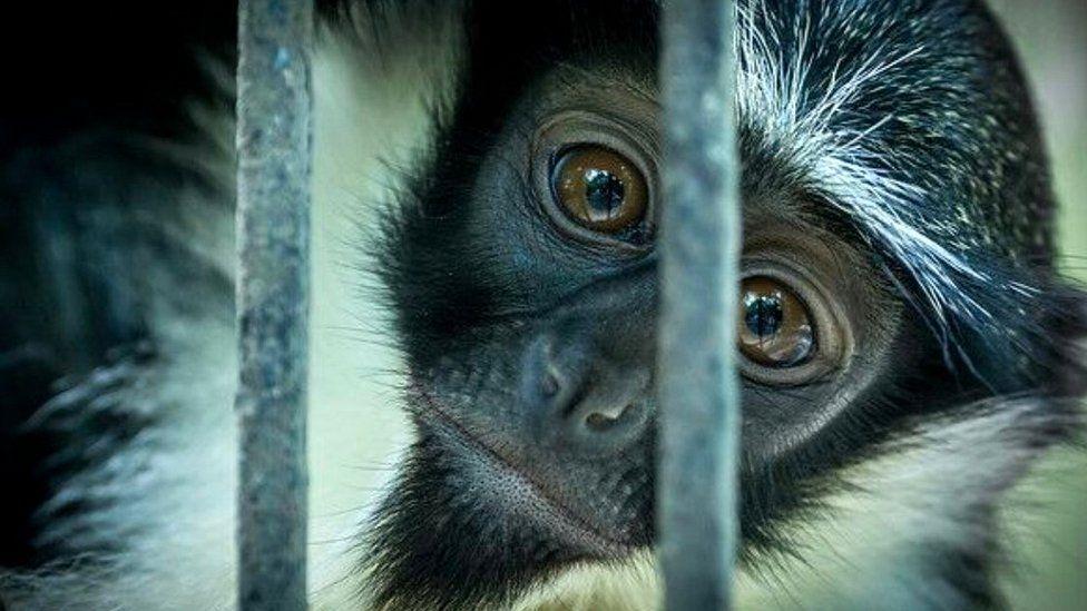 Roloway Monkey (c) Wade Tregaskis