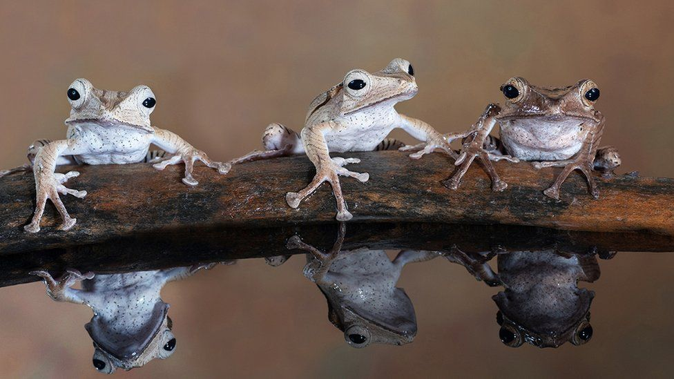 "A photo titled ""Three tree frogs sitting on a log"" - voted second in Advanced Nature Projected"