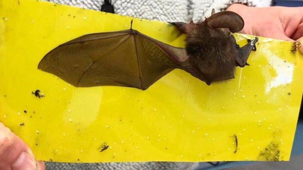 Bat stuck on sticky fly paper