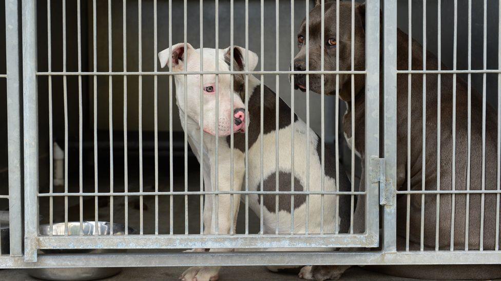 A pitbull in a cage
