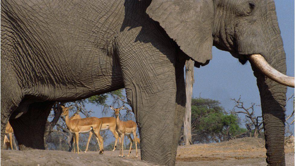 Elephant (foreground) and impala (background)