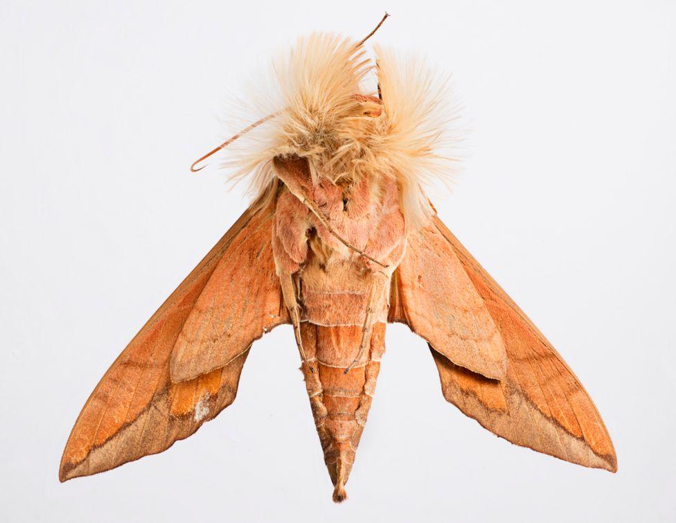 Anchemola sphinx moth
