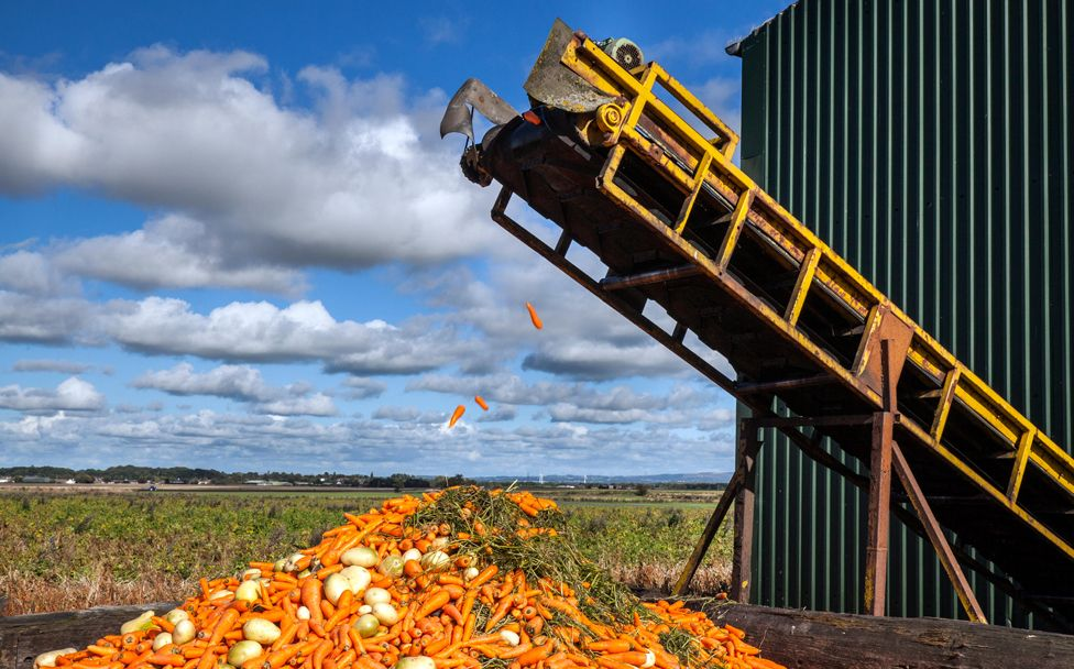 Rejected carrots - Vegetable farmer processing his carrot harvest in Burscough, Lancashire