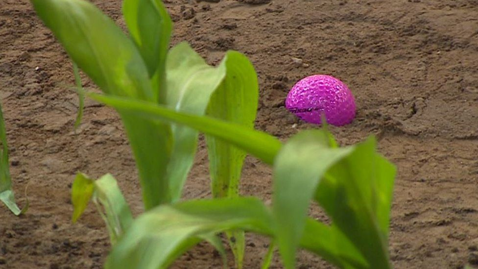 Golf ball in the maize field