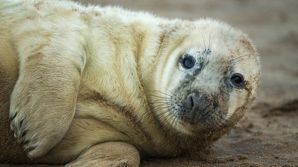 Seal pup in Grimsby