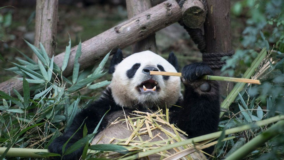 Giant pandas no longer endangered but still vulnerable, says China - BBC  News