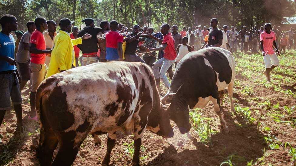People scuffling as bulls fight in western Kenya
