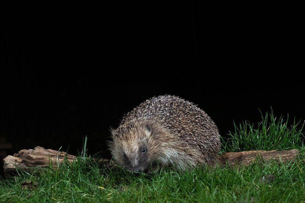 A hedgehog in a garden in Amersham, England