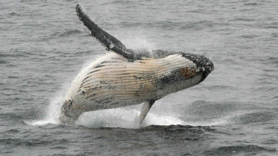 Humpback whale jumping out of the water in the western Antarctic peninsula, file photo 5 March 2016
