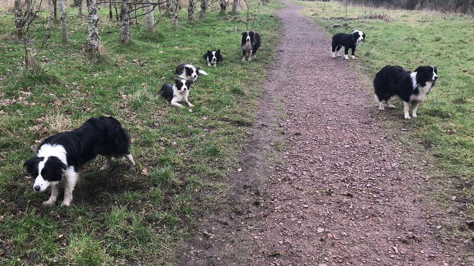Collies in Drumpellier Park
