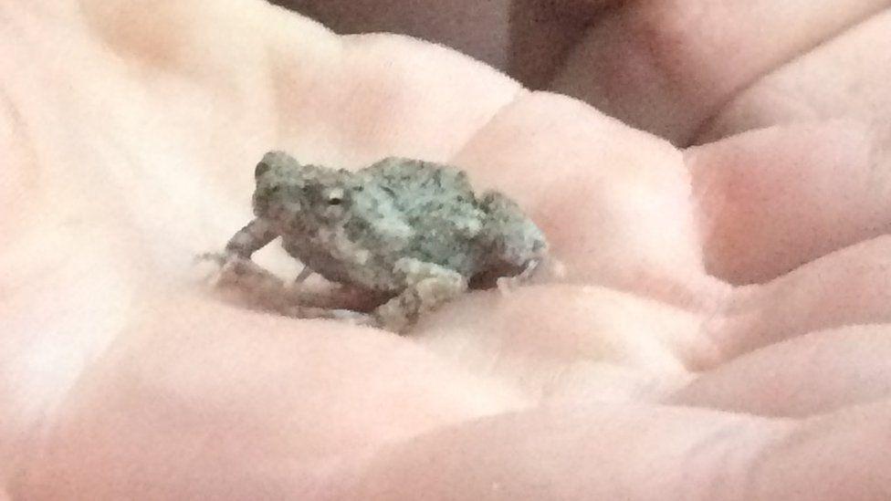 Tungara frog