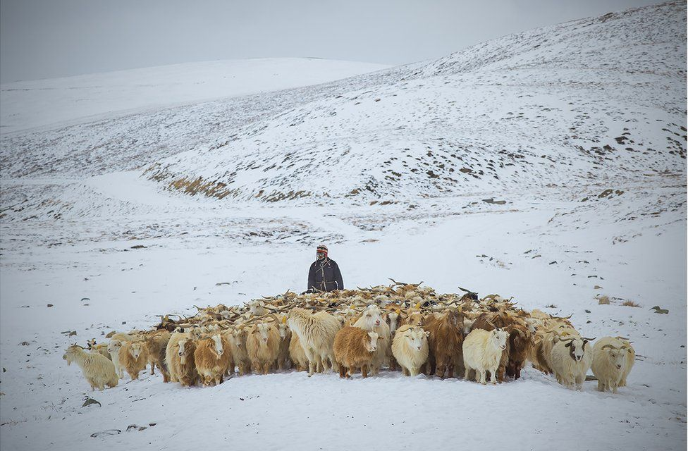 A herder with Changra goats in the snow