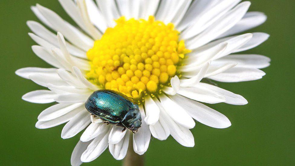 Alder leaf beetle