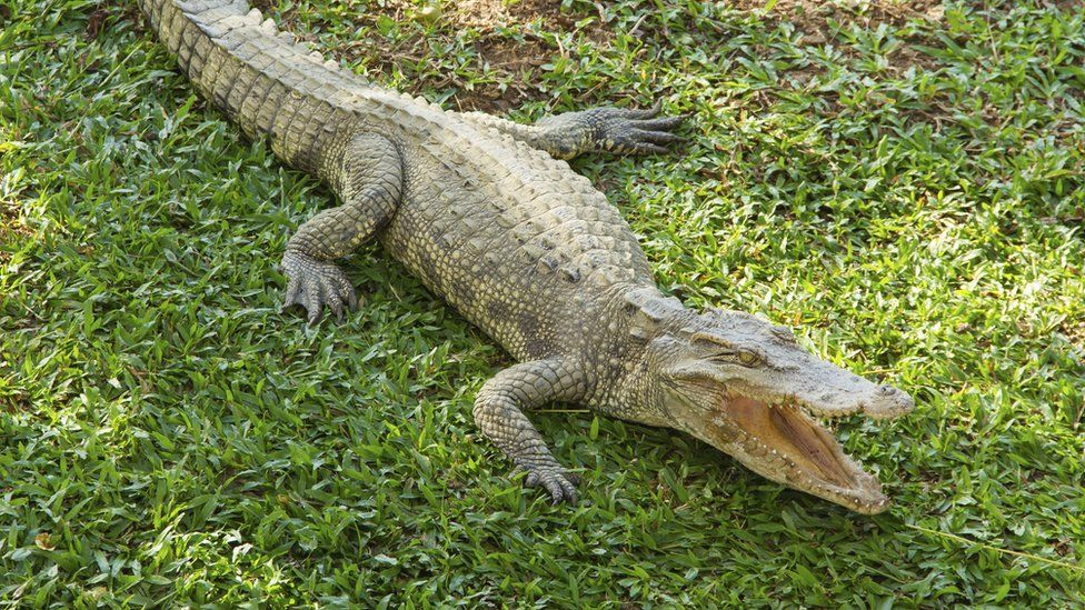 small saltwater crocodile on grass, snapping