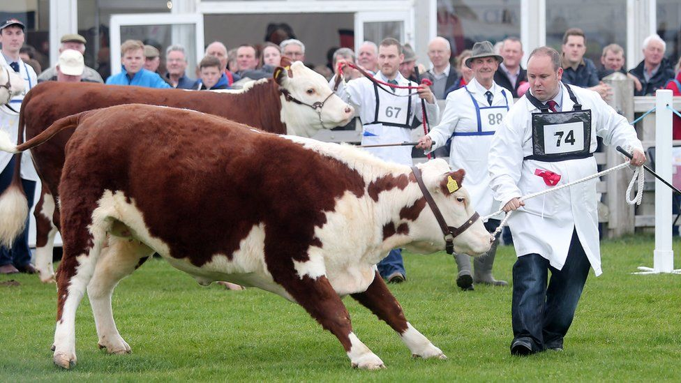 A man leads a bullock at Balmoral Show