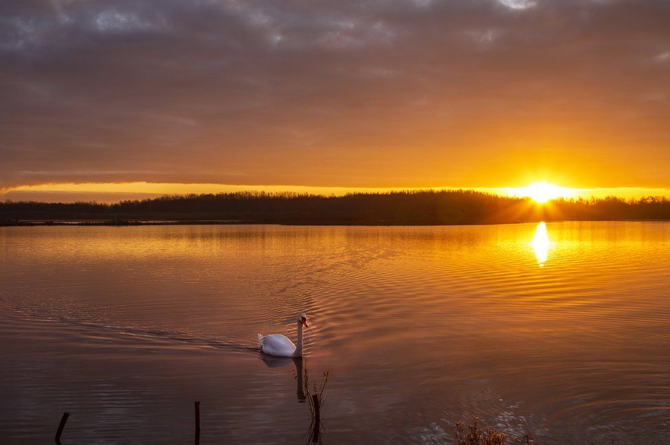 A swan swimming at sunset