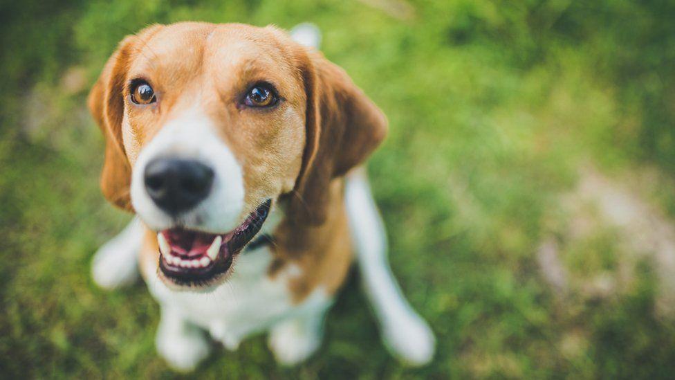 A beagle dog
