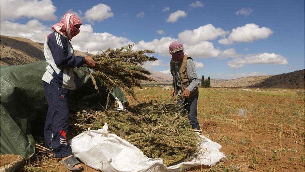 Syrian refugees harvesting cannabis