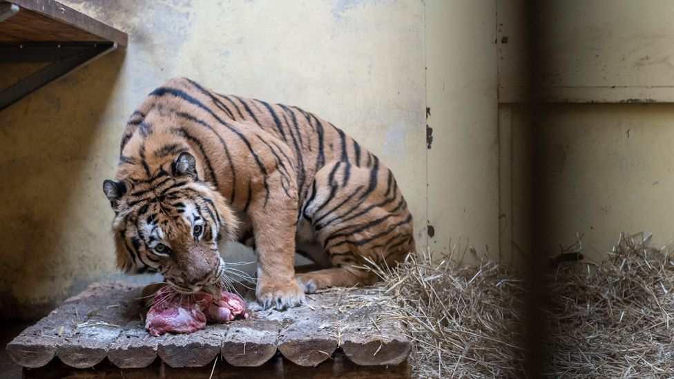 Tiger in Poznan Zoo, 6 Nov 19