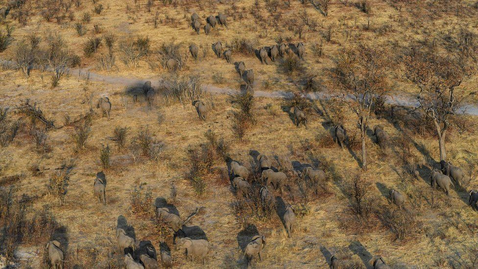 Aerial shot of elephants