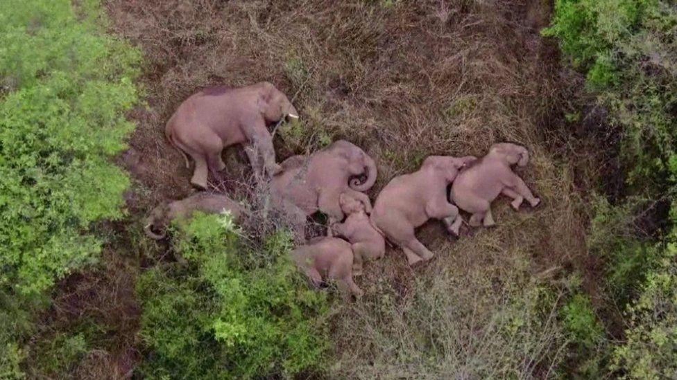 Herd of elephants lying down sleeping