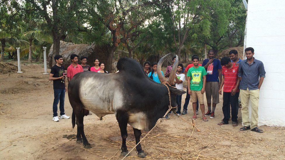 Kangeyam bull breeder Karthikeyan Siva Senaapathy