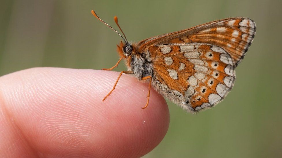 A marsh fritillary butterfly, sitting on someone's finger