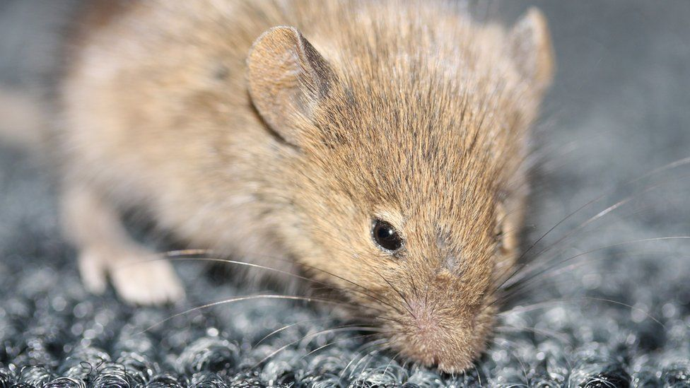 Mouse (file image)