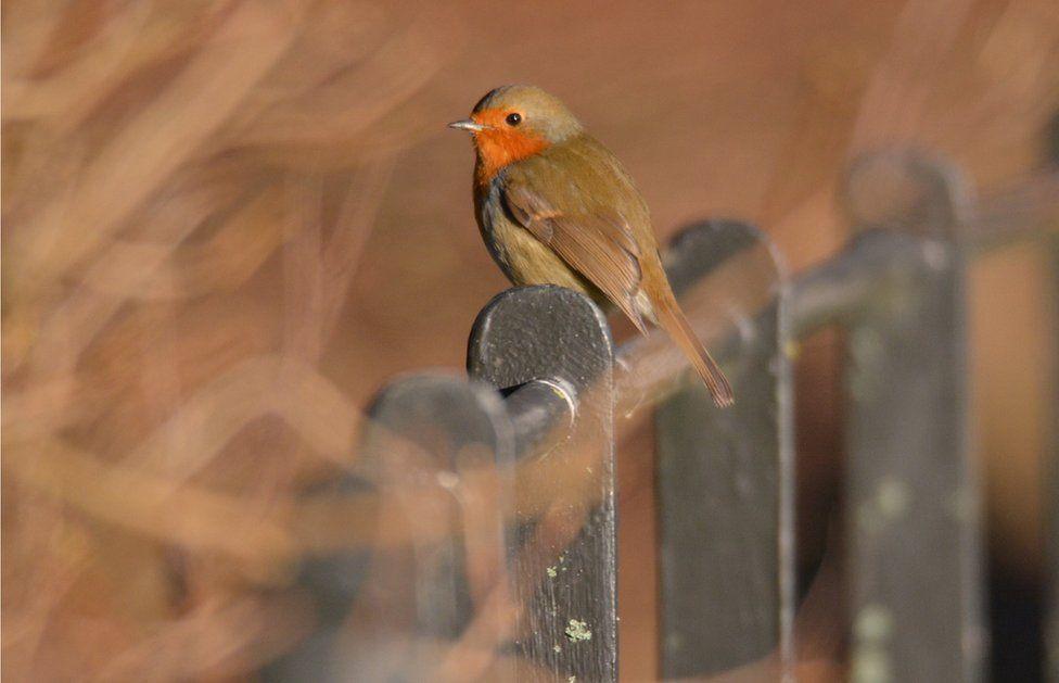 A robin sitting on a fence