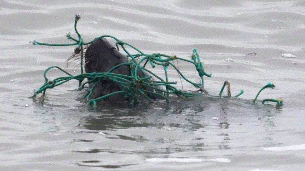 seal in fishing net