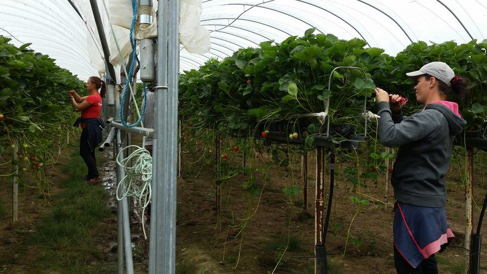 Pickers in polytunnel