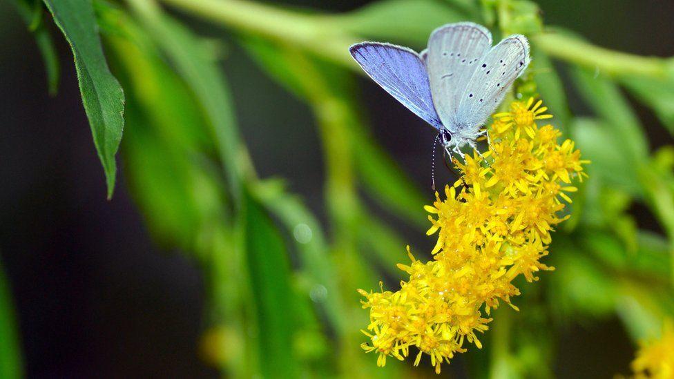Голубянка весенняя