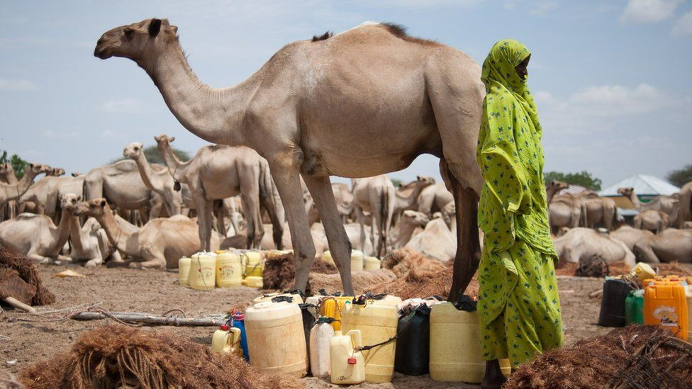 Woman with herd of camels and jerry cans