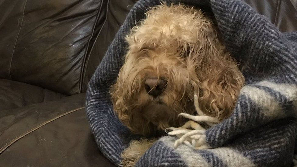 Biscuits the dog, wrapped in a blanket