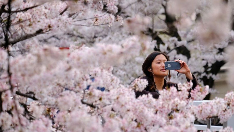 A visitor takes a photograph of cherry blossoms in full bloom in the Japanese capital Tokyo.