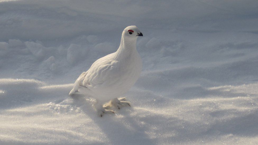 A white bird against the snow.