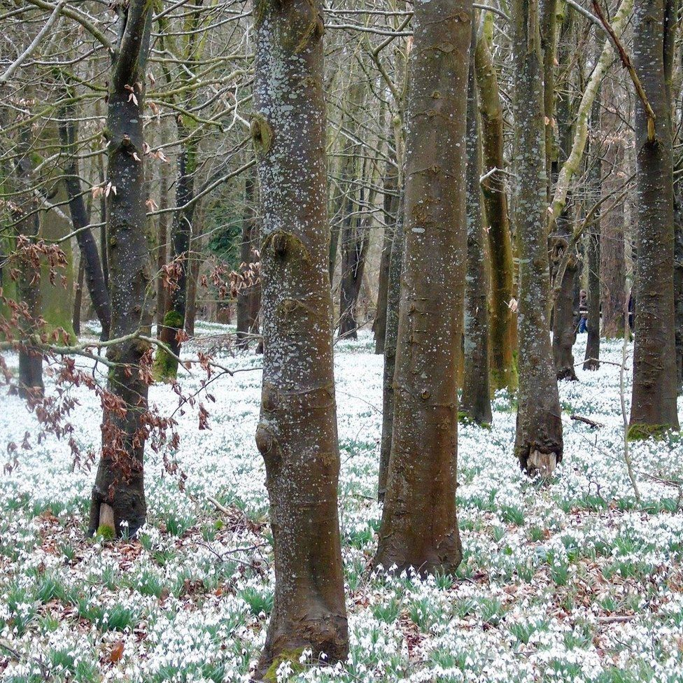 The snowdrop-covered Welford Park, near Newbury in Berkshire