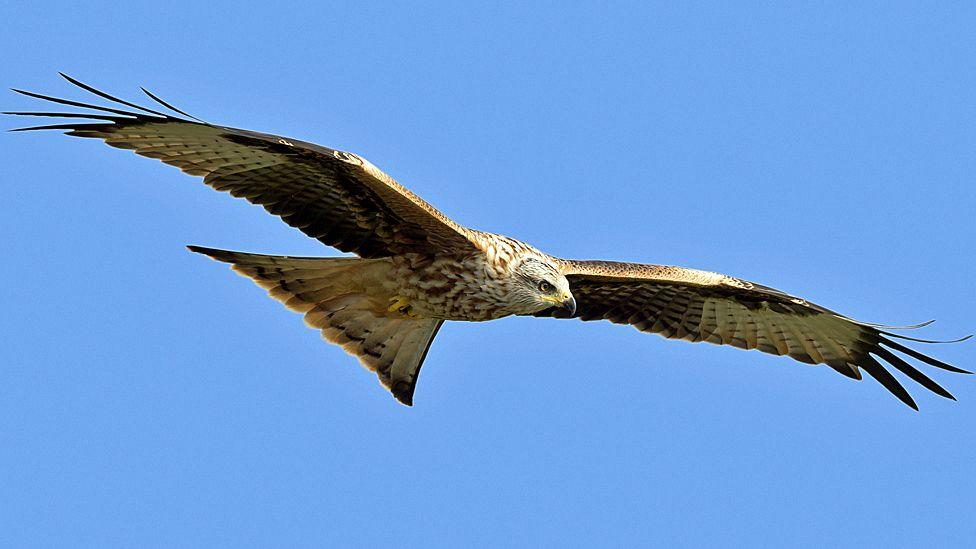 Kirkcudbright red kites were poisoned, tests reveal