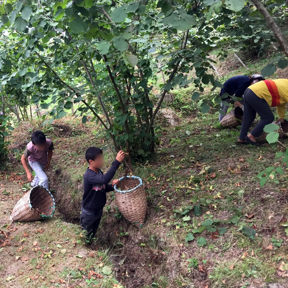Children picking hazelnuts
