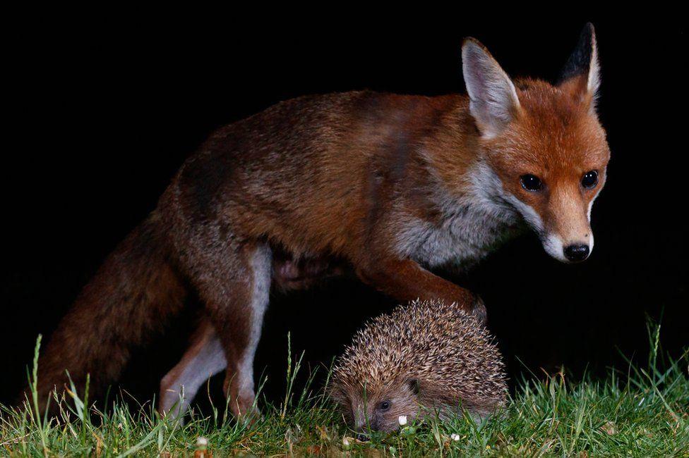 A fox and a hedgehog seen in a garden in Amersham, England